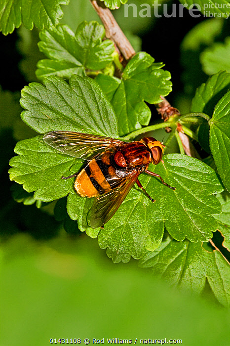 Hoverfly (Volucella zonaria) on gooseberry bush Lewisham, London, July, DIPTERA,ENGLAND,EUROPE,FLIES,HOVER FLIES,INSECTS,INVERTEBRATES,LONDON,UK,VERTICAL,United Kingdom, Rod Williams