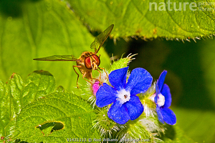 Marmalade Hoverfly (Episyrphus balteatus) on green alkanet (Pentaglottis sempervirens) Lewisham, London, July  ,  BLUE,DIPTERA,ENGLAND,EUROPE,FLIES,FLOWERS,HOVER FLIES,INSECTS,INVERTEBRATES,LONDON,UK,United Kingdom,,hover-fly,  ,  Rod Williams