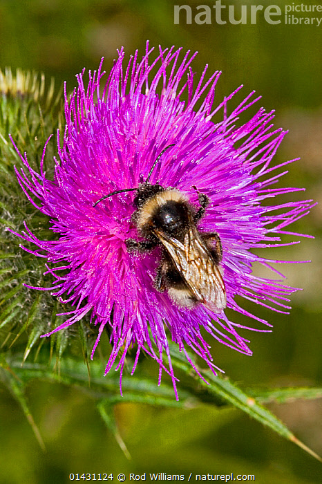 Cuckoo Bee (Bombus vestalis) covered in pollen, on thistle, Lewisham, London, July  ,  BEES,ENGLAND,EUROPE,FEEDING,FLOWERS,HYMENOPTERA,INSECTS,INVERTEBRATES,LONDON,PINK,POLLINATION,THISTLES,UK,United Kingdom,,Dispersal,  ,  Rod Williams