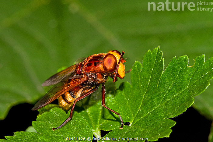 Hornet-mimic Hoverfly (Volucella zonaria) washing its face, on gooseberry bush Lewisham, London, August, BEHAVIOUR,DIPTERA,ENGLAND,EUROPE,FLIES,GROOMING,HOVER FLIES,INSECTS,INVERTEBRATES,LONDON,UK,United Kingdom, Rod Williams