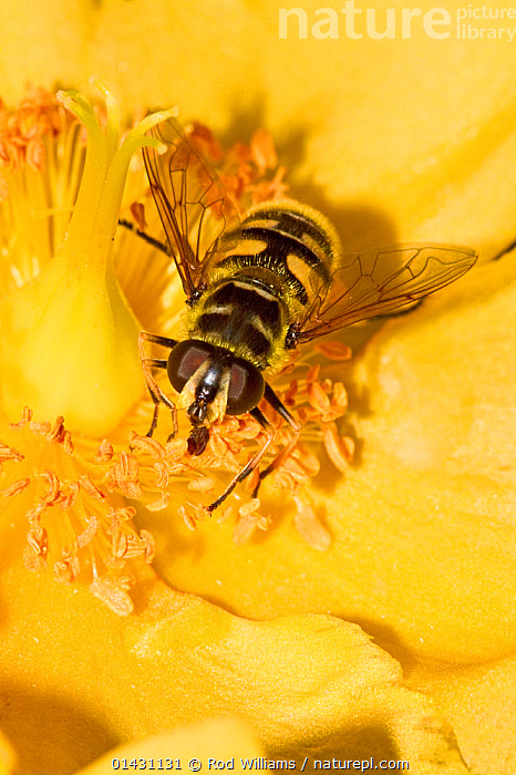 Hoverfly (Myathropa florae) feeding on Rose of Sharon Lewisham, London, August  ,  DIPTERA,ENGLAND,EUROPE,FEEDING,FLOWERS,HOVER FLIES,INSECTS,INVERTEBRATES,LONDON,POLLINATION,UK,YELLOW,United Kingdom  ,  Rod Williams