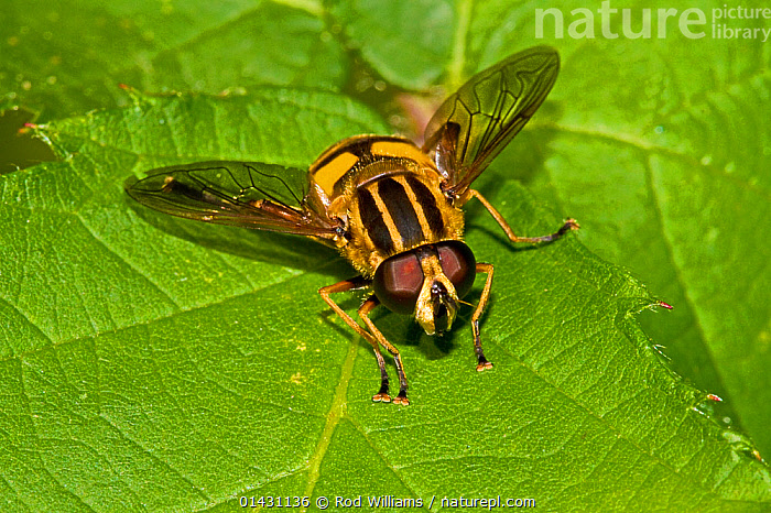 Hoverfly (Helophilus pendulus) Lewisham, London, August, DIPTERA,ENGLAND,EUROPE,FLIES,HOVER FLIES,INSECTS,INVERTEBRATES,LONDON,SUNFLY,UK,United Kingdom, Rod Williams