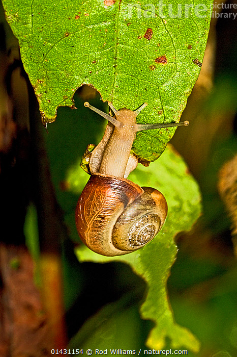 Kentish Snail (Monacha cantiana) Lewisham, London, August, ENGLAND,EUROPE,GASTROPODS,HYGROMIIDAE,INVERTEBRATES,LONDON,MOLLUSCS,SNAILS,UK,VERTICAL,United Kingdom, Rod Williams