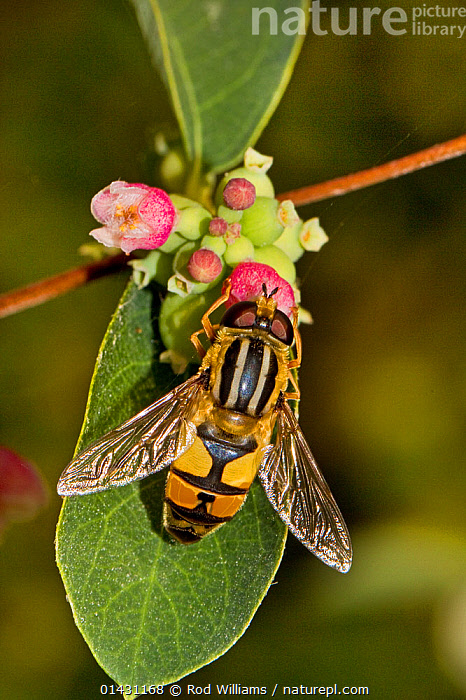 Hoverfly (Helophilus trivittatus) feeding on Snowberry Lewisham, London, September, DIPTERA,ENGLAND,EUROPE,FEEDING,FLOWERS,HOVER FLIES,INSECTS,INVERTEBRATES,LONDON,POLLINATION,UK,United Kingdom,Tigers,Big Cats, Rod Williams