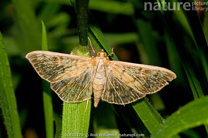 Mother-of-Pearl Moth (Pleuroptya ruralis) Lewisham, London, September, CRAMBIDAE,ENGLAND,EUROPE,INSECTS,INVERTEBRATES,LEPIDOPTERA,LONDON,MOTHS,UK,United Kingdom, Rod Williams