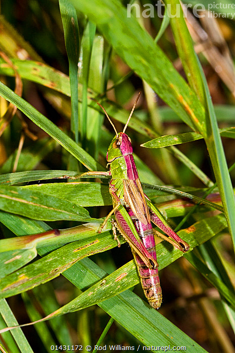 Meadow Grasshopper (Chorthippus parallelus) Lewisham, London, September  ,  COLOURFUL,ENGLAND,EUROPE,GRASSHOPPERS,INSECTS,INVERTEBRATES,LONDON,ORTHOPTERA,PURPLE,SHORT HORNED GRASSHOPPERS,UK,VERTICAL,United Kingdom  ,  Rod Williams
