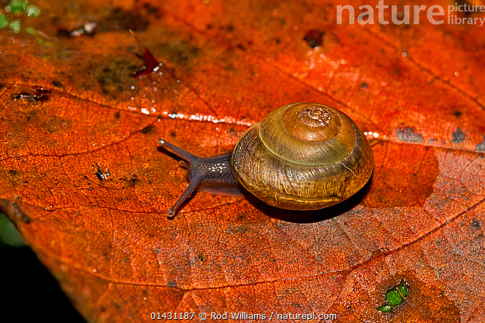 Girdled Snail (Hygromia cinctella) Lewisham, London, September  ,  AUTUMN,ENGLAND,EUROPE,GASTROPODS,INVERTEBRATES,LEAVES,LONDON,MOLLUSCS,SNAILS,UK,United Kingdom  ,  Rod Williams