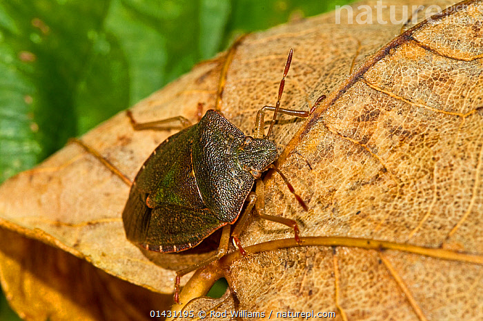 Green Shieldbug (Palomena prasins) in pre-hibernation colouring Lewisham, London, November, BUGS,ENGLAND,EUROPE,HEMIPTERA,INSECTS,INVERTEBRATES,LONDON,SHIELDBUGS,UK,United Kingdom, Rod Williams