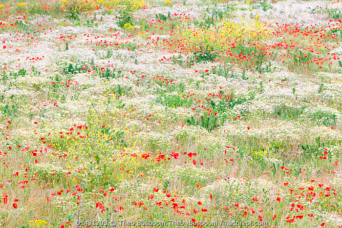 Flowers in bloom with Poppies (Papaver rhoeas) and Anthemis in field near Huissen, the Netherlands, June 2011  ,  catalogue6,Plant,Vascular plant,Flowering plant,Dicot,Poppy,Common poppy,Asterid,Chamomile,Plantae,Plant,Tracheophyta,Vascular plant,Magnoliopsida,Flowering plant,Angiosperm,Seed plant,Spermatophyte,Spermatophytina,Angiospermae,Ranunculales,Dicot,Dicotyledon,Ranunculanae,Papaveraceae,Fumariaceae,Papaver,Poppy,Stylomecon,Papaver rhoeas,Common poppy,Corn poppy,Field poppy,Red poppy,Asterales,Asterid,Asteranae,Asteraceae,Compositae,Anthemis,Chamomile,Camomile,Innocence,Innocent,Arrangement,Variation,Colour,Red,White,No One,Nobody,Europe,Western Europe,The Netherlands,Holland,Netherlands,Full Frame,High Angle View,Wildflower,Wildflowers,Flower,Cultivated Land,Fields,Outdoors,Open Air,Outside,Season,Seasons,Summer,Day,Backgrounds,Background,Nature,Natural,Natural World,Beauty In Nature,Grassland,Meadow,Meadows,Farmland,Elevated view,White colour,Huissen  ,  Theo Bosboom,Theo  Bosboom