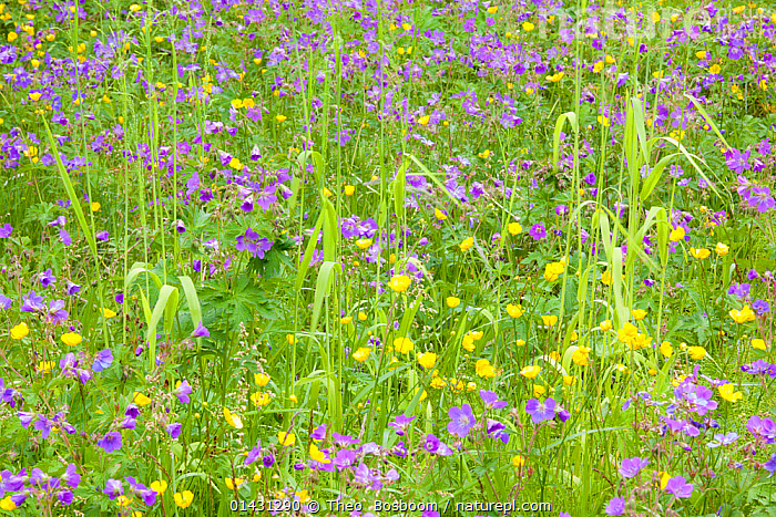 Wood cranesbill (Geranium sylvaticum)  and Buttercups (Ranunculus) in flower, Asbyrgi, Iceland, June  ,  PLANTAE,PLANT,TRACHEOPHYTA,VASCULAR PLANT,MAGNOLIOPSIDA,FLOWERING PLANT,ANGIOSPERM,SEED PLANT,SPERMATOPHYTE,SPERMATOPHYTINA,ANGIOSPERMAE,RANUNCULALES,DICOT,DICOTYLEDON,RANUNCULANAE,RANUNCULACEAE,RANUNCULUS,BUTTERCUP,KUMLIENIA,GERANIALES,ROSID,ROSANAE,GERANIACEAE,GERANIUM FAMILY,GERANIUM,GERANIUM SYLVATICUM,WOOD CRANESBILL,WOODLAND GERANIUM,GERANIUM ANGULATUM,GERANIUM BATRACHIOIDES,GERANIUM LEMANIANUM,COLOUR ,COLOR,COLORED,COLOURED,COLORS,COLOURS,PINK,YELLOW,EUROPE,NORTHERN EUROPE,NORTH EUROPE,NORDIC COUNTRIES,SCANDINAVIA,SKANDINAVIA,ICELAND,PLANT PART,FLOWER,BLOOM,BLOOMING,BLOOMS,FLOWERING,FLOWERING PLANT,FLOWERING PLANTS,FLOWERS,PLANTS,VASCULAR PLANTS,FLOWERING PLANTS,ANGIOSPERMS,SEED PLANTS,SPERMATOPHYTES,DICOTS,DICOTYLEDONS,BUTTERCUPS,ROSIDS,GERANIUMS,PLANT,VASCULAR PLANT,FLOWERING PLANT,DICOT,BUTTERCUP,ROSID,GERANIUM FAMILY,WOOD CRANESBILL  ,  Theo  Bosboom