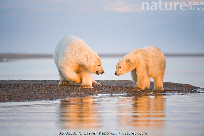 Polar bear (Ursus maritimus) 4-year-old and yearling along Bernard Spit, 1002 area of the Arctic National Wildlife Refuge, North Slope, Alaska, Beaufort Sea, ALASKA,ARCTIC,BEARS,CARNIVORES,COASTS,ENDANGERED,JUVENILE,MAMMALS,MARINE,NORTH AMERICA,TWO,URSIDAE,USA,VERTEBRATES,VULNERABLE, Steven Kazlowski