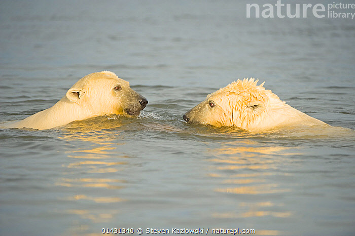 Polar bear (Ursus maritimus)  yearlings play with one another in the water, Beaufort Sea, off the 1002 area of the Arctic National Wildlife Refuge, North Slope, Alaska, ALASKA,ARCTIC,AUTUMN,BABIES,BEARS,CARNIVORES,COASTAL WATER,CUBS,ENDANGERED,ICE,JUVENILE,MAMMALS,MARINE,NORTH AMERICA,PLAYS,URSIDAE,USA,VERTEBRATES,VULNERABLE,YOUNG, Steven Kazlowski