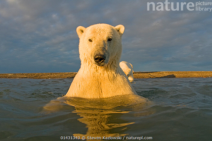 Polar bear (Ursus maritimus) curious young 2-year-old in water off a barrier island, its mother on the beach, Bernard Spit, 1002 area of the Arctic National Wildlife Refuge, North Slope, Alaska  ,  catalogue6,URSUS MARITIMUS,Animal,Vertebrate,Mammal,Carnivore,Bear,Polar bear,Animalia,Animal,Wildlife,Vertebrate,Chordate,Mammalia,Mammal,Carnivora,Carnivore,Ursidae,Bear,Ursus,Ursus maritimus,Polar bear,Ursus labradorensis,Ursus marinus,Ursus polaris,Curiosity,Colour,White,No One,Nobody,North America,USA,Western USA,Alaska,Close Up,Beach,Island,Islands,Light,Lights,Sunlight,Outdoors,Open Air,Outside,Day,Coast,Water Surface,Coastal,View to land,Direct Gaze,White colour,Barrier Island,Bernard Spit,Arctic National Wildlife Refuge,Endangered species,threatened,Vulnerable  ,  Steven Kazlowski
