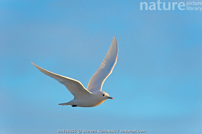 Ivory gull (Pagophilia eburnea) adult in flight, Beaufort Sea, off the 1002 area of the Arctic National Wildlife Refuge, North Slope, Alaska, ARCTIC,BIRDS,BLUE BACKGROUND,CUTOUT,FLYING,GULLS,LARIDAE,NORTH AMERICA,PAGOPHILA ALBA,SEABIRDS,USA,VERTEBRATES, Steven Kazlowski