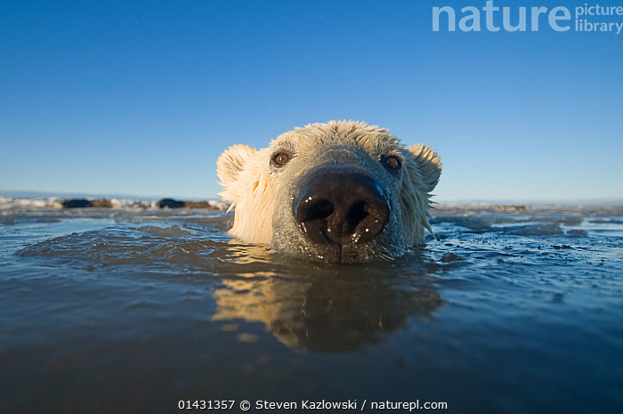 Polar bear (Ursus maritimus) 2 to 3-years in waters off the 1002 area of the Arctic National Wildlife Refuge, North Slope of the Brooks Range, Alaska, Beaufort Sea, autumn, ALASKA,ARCTIC,BEARS,CARNIVORES,ENDANGERED,JUVENILE,MAMMALS,MARINE,NORTH AMERICA,NOSES,PORTRAITS,URSIDAE,USA,VERTEBRATES,VULNERABLE, Steven Kazlowski
