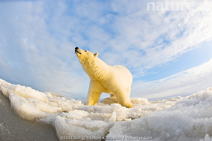 Polar bear (Ursus maritimus) 4-5 year-old on pack ice, low angle shot, off the 1002 area of the Arctic National Wildlife Refuge, North Slope of the Brooks Range, Alaska, Beaufort Sea, autumn, ALASKA,ARCTIC,BEARS,CARNIVORES,CLOUDS,ENDANGERED,ICE,LOW ANGLE SHOT,LOW ANGLE SHOT,MAMMALS,MARINE,NORTH AMERICA,PORTRAITS,URSIDAE,USA,VERTEBRATES,VULNERABLE,Weather, Steven Kazlowski