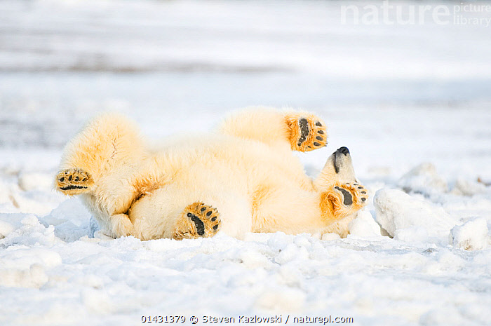 Polar bear (Ursus maritimus) juvenile rolling  around on newly formed pack ice, Beaufort Sea, off the 1002 area of the Arctic National Wildlife Refuge, North Slope, Alaska, ALASKA,ARCTIC,BEARS,CARNIVORES,ENDANGERED,FUN,HUMOROUS,ICE,JUVENILE,MAMMALS,MARINE,NORTH AMERICA,ONE,PLAY,PLAYS,RELAXATION,ROLLING,STRETCHING,URSIDAE,USA,VERTEBRATES,VULNERABLE,YOUNG,Concepts,Communication, Steven Kazlowski