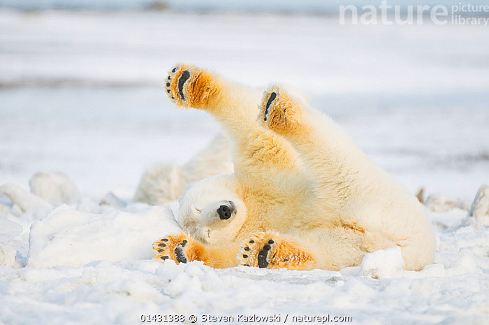 Polar bear (Ursus maritimus) juvenile rolling  around on newly formed pack ice, Beaufort Sea, off the 1002 area of the Arctic National Wildlife Refuge, North Slope, Alaska  ,  ALASKA,ARCTIC,BEARS,CARNIVORES,ENDANGERED,FUN,HUMOROUS,ICE,JUVENILE,MAMMALS,MARINE,NORTH AMERICA,ONE,PAWS,PLAY,PLAYS,RELAXATION,ROLLING,STRETCHING,URSIDAE,USA,VERTEBRATES,VULNERABLE,YOUNG,Concepts,Communication  ,  Steven Kazlowski