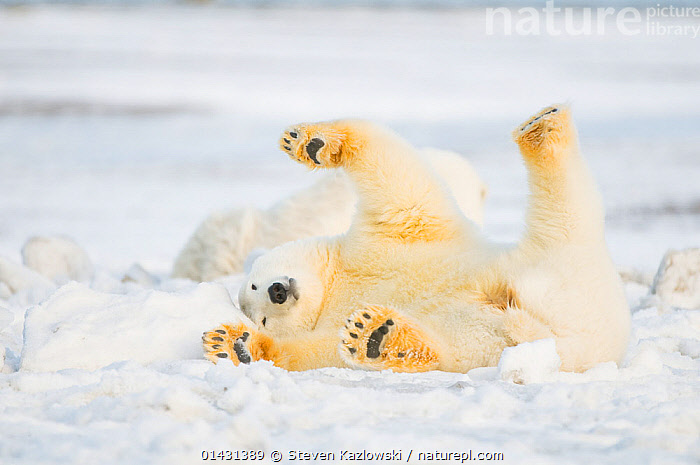 Polar bear (Ursus maritimus) juvenile rolling  around on newly formed pack ice, Beaufort Sea, off the 1002 area of the Arctic National Wildlife Refuge, North Slope, Alaska, ALASKA,ARCTIC,BEARS,CARNIVORES,ENDANGERED,FUN,HUMOROUS,ICE,JUVENILE,MAMMALS,MARINE,NORTH AMERICA,ONE,PAWS,PLAY,PLAYS,RELAXATION,ROLLING,STRETCHING,URSIDAE,USA,VERTEBRATES,VULNERABLE,YOUNG,Concepts,Communication, Steven Kazlowski