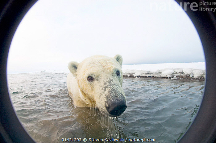 Polar bear (Ursus maritimus) curious yearling emerges from newly forming pack ice during autumn freeze up, Beaufort Sea, off the 1002 area of the Arctic National Wildlife Refuge, North Slope, Alaska.  Seen through wide angle lens with camera housing., ALASKA,ARCTIC,BABIES,BEARS,CARNIVORES,CLOSE UPS,CUBS,ENDANGERED,HABITAT,MAMMALS,MARINE,NORTH AMERICA,PORTRAITS,SWIMMING,URSIDAE,USA,VERTEBRATES,VULNERABLE,YOUNG, Steven Kazlowski