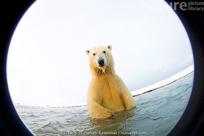 Polar bear (Ursus maritimus) curious 4-5 yearold emerges from newly forming pack ice during autumn freeze up, Beaufort Sea, off the 1002 area of the Arctic National Wildlife Refuge, North Slope, Alaska. Seen through wide angle lens with camera housing., ALASKA,ARCTIC,BEARS,CARNIVORES,ENDANGERED,HABITAT,JUVENILE,LOOKING AT CAMERA,MAMMALS,MARINE,NORTH AMERICA,URSIDAE,USA,VERTEBRATES,VULNERABLE, Steven Kazlowski