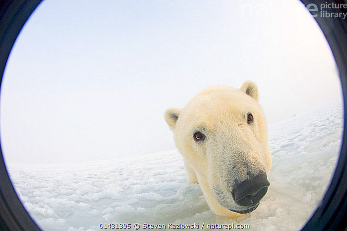 Polar bear (Ursus maritimus) curious yearling emerges from newly forming pack ice during autumn freeze up, Beaufort Sea, off the 1002 area of the Arctic National Wildlife Refuge, North Slope, Alaska. Seen through wide angle lens with camera housing.  ,  ALASKA,ARCTIC,BEARS,CARNIVORES,CURIOSITY,ENDANGERED,ENVIRONMENTAL,HABITAT,JUVENILES,MAMMALS,MARINE,NORTH AMERICA,NOSES,URSIDAE,USA,VERTEBRATES,VULNERABLE,YOUNG  ,  Steven Kazlowski