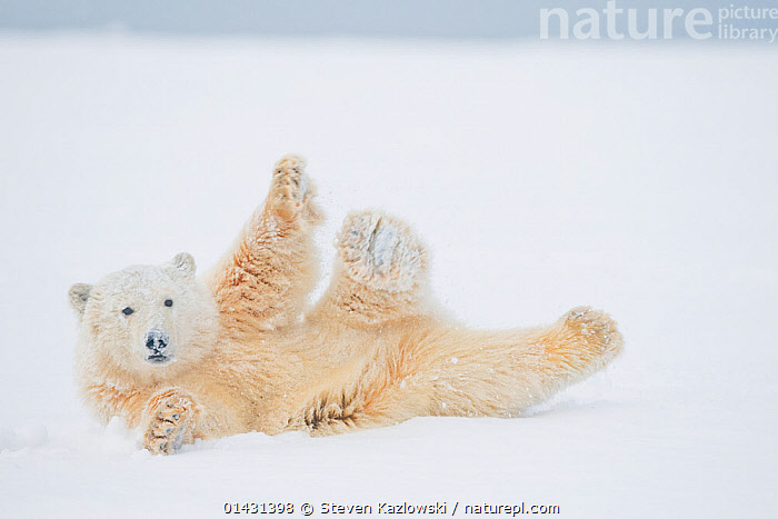Polar bear (Ursus maritimus) yearling rolling  around on newly formed pack ice, Beaufort Sea, off the 1002 area of the Arctic National Wildlife Refuge, North Slope, Alaska, ALASKA,ARCTIC,BABIES,BEARS,CARNIVORES,CUBS,ENDANGERED,FUN,HUMOROUS,ICE,JUVENILE,MAMMALS,MARINE,NORTH AMERICA,PLAY,PLAYS,RELAXATION,ROLLING,SNOW,SNOWING,STRETCHING,URSIDAE,USA,VERTEBRATES,VULNERABLE,YOUNG,Concepts,Communication, Steven Kazlowski