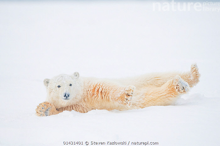 Polar bear (Ursus maritimus) yearling rolling  around on newly formed pack ice, Beaufort Sea, off the 1002 area of the Arctic National Wildlife Refuge, North Slope, Alaska, ALASKA,ARCTIC,BABIES,BEARS,CARNIVORES,CUBS,ENDANGERED,FUN,HUMOROUS,ICE,JUVENILE,MAMMALS,MARINE,NORTH AMERICA,PLAY,PLAYS,RELAXATION,ROLLING,STRETCHING,URSIDAE,USA,VERTEBRATES,VULNERABLE,YOUNG,Concepts,Communication, Steven Kazlowski