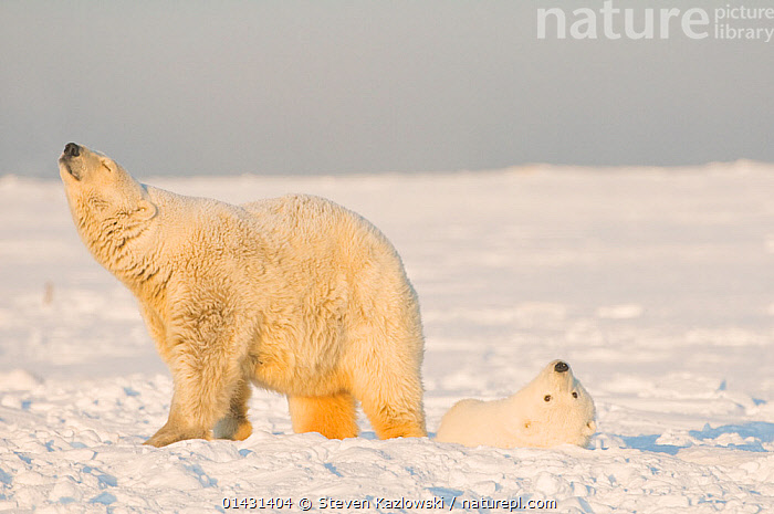 Polar bear (Ursus maritimus) female smelling the air, with cub on the newly formed pack ice in autumn, Beaufort Sea, off the 1002 area of the Arctic National Wildlife Refuge, North Slope, Alaska, ALASKA,ARCTIC,BABIES,MAMMALS,URSIDAE,USA,BEARS,CARNIVORES,CUBS,ENDANGERED,FEMALES,MARINE,MOTHER,NORTH AMERICA,VERTEBRATES,VULNERABLE,YOUNG, Steven Kazlowski