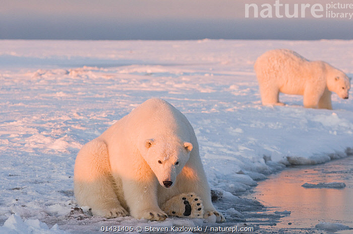 Polar bear (Ursus maritimus) 3 year old along the edge of newly formed pack ice during autumn freeze up, with sibling in the background, off the 1002 area of the Arctic National Wildlife Refuge, North Slope, Alaska, BEARS,CARNIVORES,ENDANGERED,JUVENILE,MARINE,NORTH AMERICA,VERTEBRATES,VULNERABLE,YOUNG,ALASKA,ARCTIC,MAMMALS,ONE,SITTING,URSIDAE,USA, Steven Kazlowski