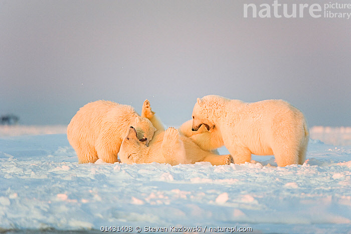 Polar bear (Ursus maritimus) 3-year-olds play with one another on newly formed pack ice, Beaufort Sea, off the 1002 area of the Arctic National Wildlife Refuge, North Slope, Alaska, ALASKA,ARCTIC,AUTUMN,MAMMALS,URSIDAE,USA,BEARS,CARNIVORES,ENDANGERED,ICE,JUVENILE,MARINE,NORTH AMERICA,PLAYS,VERTEBRATES,VULNERABLE,YOUNG, Steven Kazlowski