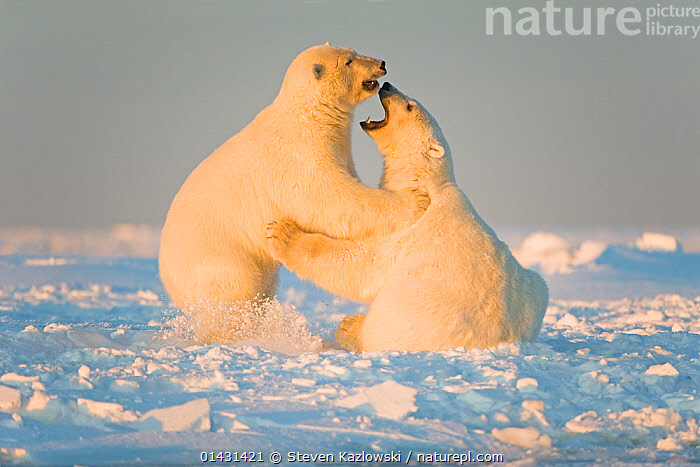 Polar bear (Ursus maritimus) 3-year-olds play fighting on newly formed pack ice, Beaufort Sea, off the 1002 area of the Arctic National Wildlife Refuge, North Slope, Alaska  ,  catalogue6,URSUS MARITIMUS,Animal,Vertebrate,Mammal,Carnivore,Bear,Polar bear,Animalia,Animal,Wildlife,Vertebrate,Chordate,Mammalia,Mammal,Carnivora,Carnivore,Ursidae,Bear,Ursus,Ursus maritimus,Polar bear,Ursus labradorensis,Ursus marinus,Ursus polaris,Play Fight,Play Fights,Face To Face,Face Each Other,Facing Each Other,Two,No One,Nobody,North America,USA,Western USA,Alaska,Profile,Three Quarter Length,Side View,Light,Lights,Sunlight,Ice,Pack Ice,Ice Floes,Snow,Outdoors,Open Air,Outside,Winter,Day,Animal Behaviour,Aggression,Playing,Behaviour,Play,Playful,Two animals,Arctic National Wildlife Refuge,Beaufort Sea,Sea ice,Endangered species,threatened,Vulnerable,Communication  ,  Steven Kazlowski