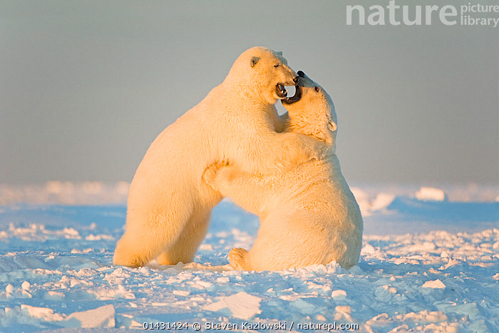 Polar bear (Ursus maritimus) 3-year-olds play fighting on newly formed pack ice, Beaufort Sea, off the 1002 area of the Arctic National Wildlife Refuge, North Slope, Alaska  ,  ALASKA,ARCTIC,AUTUMN,MAMMALS,URSIDAE,USA,BEARS,CARNIVORES,ENDANGERED,ICE,JUVENILE,MARINE,NORTH AMERICA,PLAYS,VERTEBRATES,VULNERABLE,YOUNG  ,  Steven Kazlowski
