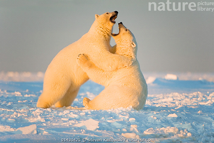 Polar bear (Ursus maritimus) 3-year-olds play fighting on newly formed pack ice, Beaufort Sea, off the 1002 area of the Arctic National Wildlife Refuge, North Slope, Alaska, ALASKA,ARCTIC,AUTUMN,MAMMALS,URSIDAE,USA,BEARS,CARNIVORES,ENDANGERED,ICE,JUVENILE,MARINE,NORTH AMERICA,PLAYS,VERTEBRATES,VULNERABLE,YOUNG, Steven Kazlowski