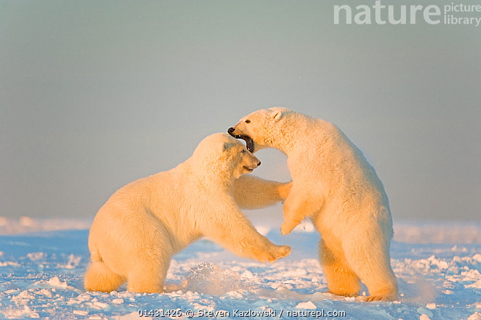 Polar bear (Ursus maritimus) 3-year-olds play fighting on newly formed pack ice, Beaufort Sea, off the 1002 area of the Arctic National Wildlife Refuge, North Slope, Alaska  ,  BEARS,CARNIVORES,ENDANGERED,ICE,JUVENILE,MARINE,NORTH AMERICA,PLAYS,VERTEBRATES,VULNERABLE,YOUNG,ALASKA,ARCTIC,AUTUMN,MAMMALS,URSIDAE,USA  ,  Steven Kazlowski