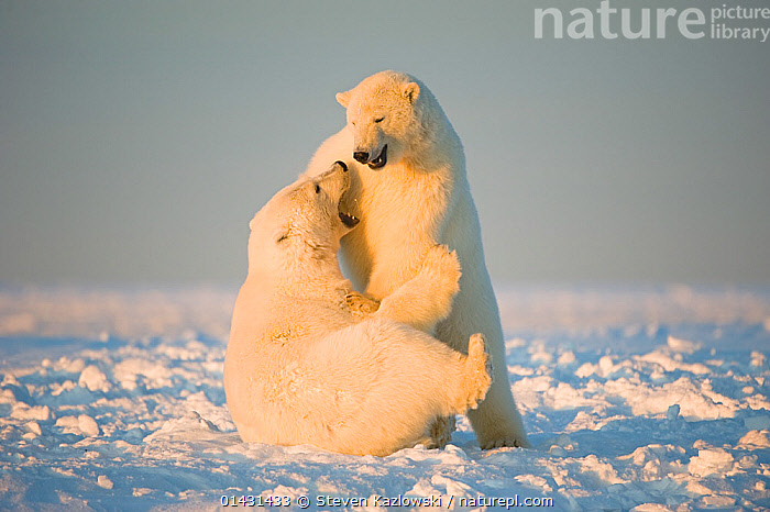 Polar bear (Ursus maritimus) 3-year-olds play fighting on newly formed pack ice, Beaufort Sea, off the 1002 area of the Arctic National Wildlife Refuge, North Slope, Alaska, ALASKA,AUTUMN,COLD,MAMMALS,URSIDAE,USA,BEARS,CARNIVORES,ENDANGERED,ICE,JUVENILE,MARINE,NORTH AMERICA,PLAYS,VERTEBRATES,VULNERABLE,YOUNG, Steven Kazlowski
