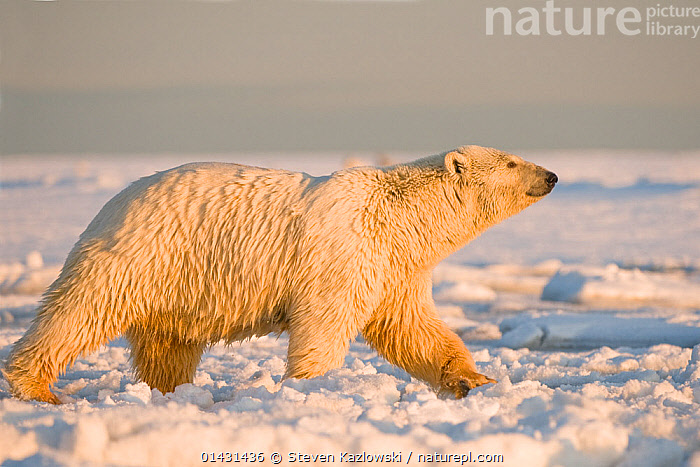 Polar bear (Ursus maritimus) female with wet matted fur walks over newly forming pack ice, Beaufort Sea, offshore from the 1002 area of the Arctic National Wildlife Refuge, Alaska., ALASKA,COLD,MAMMALS,URSIDAE,USA,BEARS,CARNIVORES,ENDANGERED,FEMALES,MARINE,NORTH AMERICA,PROFILE,VERTEBRATES,VULNERABLE, Steven Kazlowski