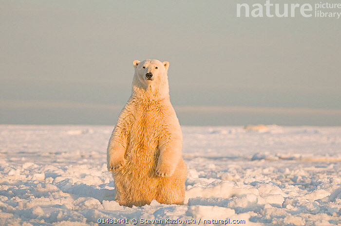 Polar bear (Ursus maritimus) sow sits up on her hindlegs, on newly forming pack ice during autumn freeze up, Beaufort Sea, off the 1002 area of the Arctic National Wildlife Refuge, North Slope, Alaska, LOOKING AT CAMERA,MAMMALS,SITTING,URSIDAE,USA,BEARS,CARNIVORES,ENDANGERED,FEMALES,HABITAT,MARINE,NORTH AMERICA,STANDING,VERTEBRATES,VULNERABLE, Steven Kazlowski