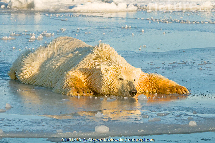 Polar bear (Ursus maritimus) juvenile spreading body weight over thin newly forming pack ice, trying not to break through, Beaufort Sea, off the 1002 area of the Arctic National Wildlife Refuge, North Slope, Alaska, ALASKA,BALANCING,CRAWLING,MAMMALS,URSIDAE,USA,BEARS,BEHAVIOUR,CARNIVORES,ENDANGERED,ICE,JUVENILE,MARINE,NORTH AMERICA,THIN ICE,VERTEBRATES,VULNERABLE,YOUNG, Steven Kazlowski
