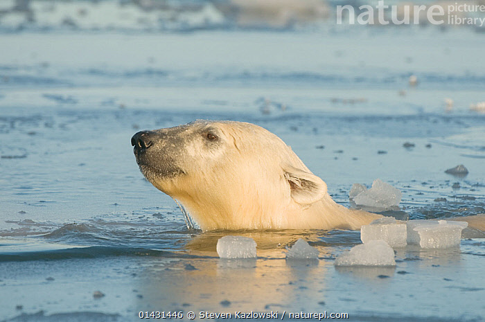 Polar bear (Ursus maritimus) adult swims through slushy newly forming pack ice during autumn freeze up, Beaufort Sea, off the 1002 area of the Arctic National Wildlife Refuge, North Slope, Alaska, ALASKA,ARCTIC,COLD,MAMMALS,SURFACE,SWIMMING,URSIDAE,BEARS,CARNIVORES,ENDANGERED,HEADS,ICE,MARINE,NORTH AMERICA,PROFILE,VERTEBRATES,VULNERABLE, Steven Kazlowski