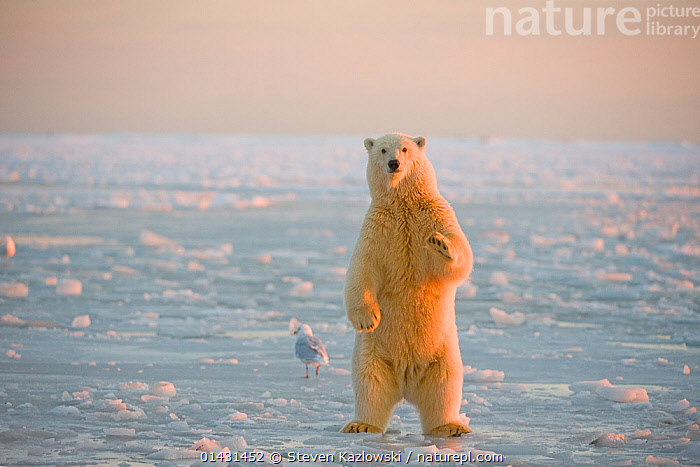 Polar bear (Ursus maritimus) juvenile standing on the newly formed pack ice, during autumn freeze up, Beaufort Sea, off the 1002 area of the Arctic National Wildlife Refuge, North Slope, Alaska, BEARS,CARNIVORES,CURIOSITY,ENDANGERED,HABITAT,JUVENILE,MARINE,NORTH AMERICA,STANDING,VERTEBRATES,VULNERABLE,YOUNG,ALASKA,HIND LEGS,MAMMALS,REAR LEGS,URSIDAE,USA, Steven Kazlowski