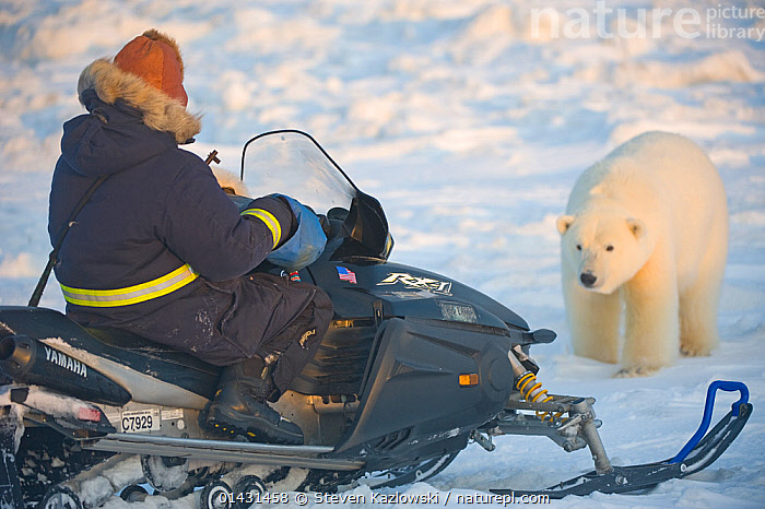 Polar bear (Ursus maritimus) approaches a man on a snowmobile over newly formed pack ice, during autumn freeze up along the coast, Beaufort Sea, HAZARDOUS,INTERACTION,MAMMALS,MAN,SKIDOO,URSIDAE,ADULT,BEARS,CARNIVORES,CURIOSITY,DANGEROUS,ENDANGERED,MACHINE,MARINE,PEOPLE,SNOWMOBILE,TRANSPORTATION,VEHICLES,VERTEBRATES,VULNERABLE, Steven Kazlowski