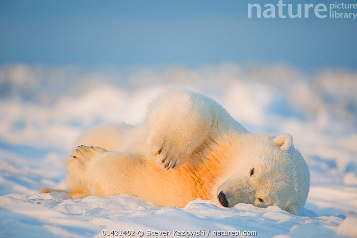 Polar bear (Ursus maritimus) young male rolling around on the newly frozen pack ice, Beaufort Sea, off the 1002 area of the Arctic National Wildlife Refuge, North Slope, Alaska  ,  MAMMALS,ROLLING,URSIDAE,BEARS,CARNIVORES,ENDANGERED,MALES,MARINE,STRETCHING,VERTEBRATES,VULNERABLE,YOUNG  ,  Steven Kazlowski