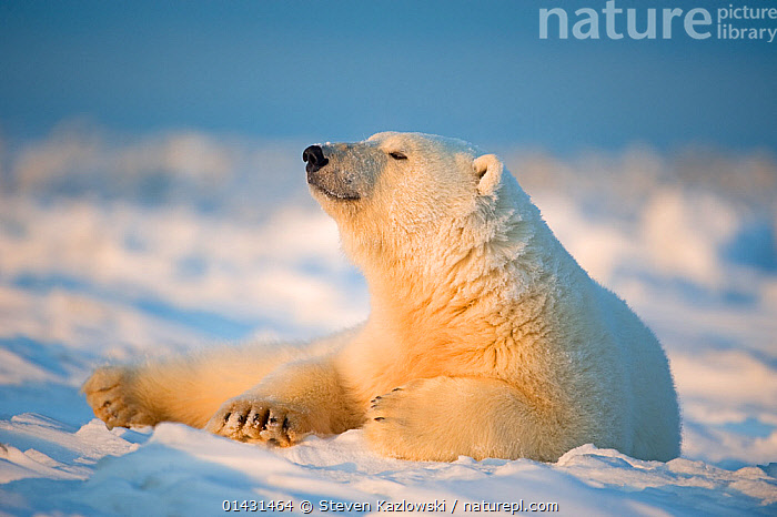 Polar bear (Ursus maritimus) young male resting on the newly frozen pack ice, Beaufort Sea, off the 1002 area of the Arctic National Wildlife Refuge, North Slope, Alaska  ,  MAMMALS,URSIDAE,USA,BEARS,CARNIVORES,ENDANGERED,MARINE,NORTH AMERICA,PROFILE,RESTING,VERTEBRATES,VULNERABLE,YOUNG  ,  Steven Kazlowski