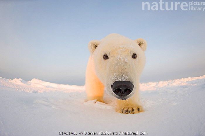 Polar bear (Ursus maritimus) curious young male on the newly frozen pack ice, Beaufort Sea, off the 1002 area of the Arctic National Wildlife Refuge, North Slope, Alaska, CURIOUSITY,FACES,INQUISITVE,LOW ANGLE SHOT,MAMMALS,PORTRAITS,URSIDAE,BEARS,CARNIVORES,CURIOUS,ENDANGERED,FISH EYE,MALES,MARINE,NOSES,REMOTE CAMERAS,VERTEBRATES,VULNERABLE,YOUNG, Steven Kazlowski