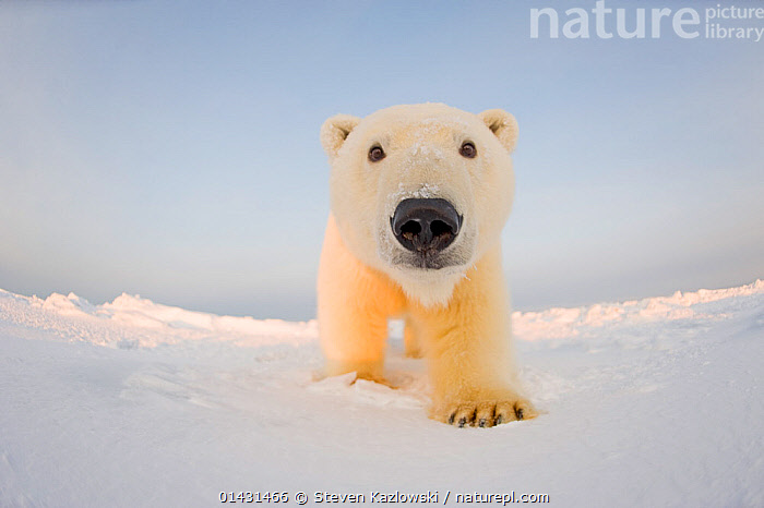 Polar bear (Ursus maritimus) curious young male on the newly frozen pack ice, Beaufort Sea, off the 1002 area of the Arctic National Wildlife Refuge, North Slope, Alaska, CURIOUSITY,INQUISITVE,LOW ANGLE SHOT,MAMMALS,PORTRAITS,URSIDAE,BEARS,CARNIVORES,CURIOUS,ENDANGERED,FISH EYE,MALES,MARINE,REMOTE CAMERAS,VERTEBRATES,VULNERABLE,YOUNG, Steven Kazlowski