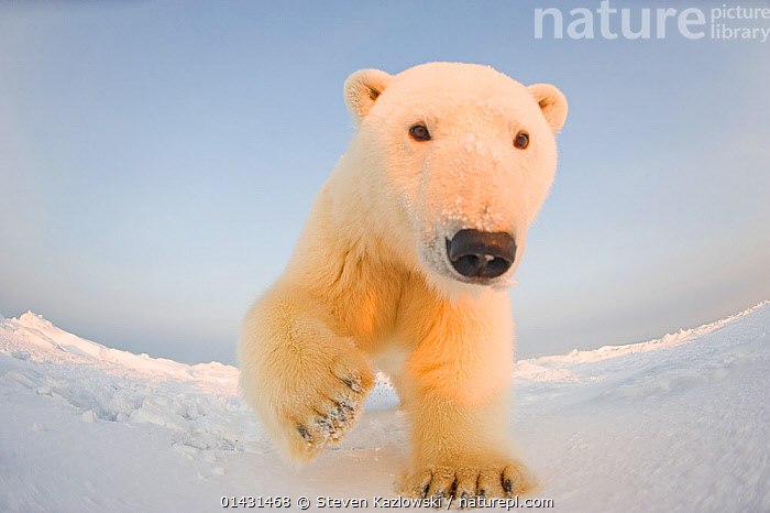 Polar bear (Ursus maritimus) curious young male on the newly frozen pack ice, Beaufort Sea, off the 1002 area of the Arctic National Wildlife Refuge, North Slope, Alaska, CLOSE UPS,CURIOUSITY,INQUISITVE,LOW ANGLE SHOT,MAMMALS,PORTRAITS,URSIDAE,BEARS,CARNIVORES,CURIOUS,ENDANGERED,FISH EYE,MALES,MARINE,REMOTE CAMERAS,VERTEBRATES,VULNERABLE,YOUNG, Steven Kazlowski