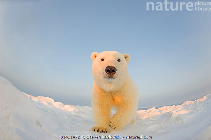 Polar bear (Ursus maritimus) curious young male on the newly frozen pack ice, Beaufort Sea, off the 1002 area of the Arctic National Wildlife Refuge, North Slope, Alaska  ,  CURIOUSITY,INQUISITVE,LOW ANGLE SHOT,MAMMALS,PORTRAITS,URSIDAE,BEARS,CARNIVORES,CURIOUS,ENDANGERED,FISH EYE,MALES,MARINE,REMOTE CAMERAS,VERTEBRATES,VULNERABLE,YOUNG  ,  Steven Kazlowski