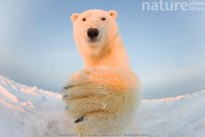 Polar bear (Ursus maritimus) curious young male batting remote camera, on the newly frozen pack ice, Beaufort Sea, off the 1002 area of the Arctic National Wildlife Refuge, North Slope, Alaska, CURIOUSITY,INQUISITVE,LOW ANGLE SHOT,MAMMALS,PAWS,PORTRAITS,URSIDAE,BEARS,CARNIVORES,CURIOUS,ENDANGERED,FISH EYE,MALES,MARINE,REMOTE CAMERAS,VERTEBRATES,VULNERABLE,YOUNG, Steven Kazlowski