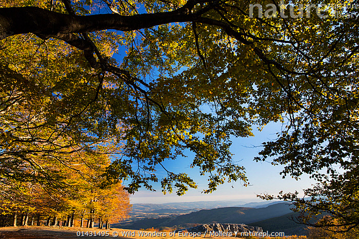 Grove of old Common beech (Fagus sylvatica) trees in late afternoon light. Mehedinti Plateau Geopark, Romania, October 2012  ,  EUROPE,FAGACEAE,FLORIAN MOELLERS,FORESTS,PLANTS,REWILDING,ROMANIA,TREES,WWE,DICOTYLEDONS,EASTERN EUROPE,HORIZONTAL,LANDSCAPES,MOUNTAINS  ,  Wild Wonders of Europe / Möllers